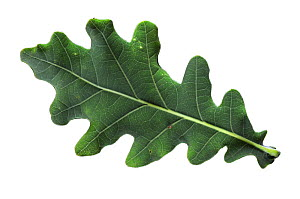 Cut out of Pedunculate oak (Quercus robur) leaf. September.  -  Colin Varndell