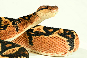Bushmaster (Lachesis muta) with white background, captive from South America.  -  Daniel Heuclin