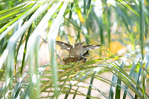 Anna's hummingbird (Calypte anna) young on nest testing its wings, Southern California, USA  -  Doc White