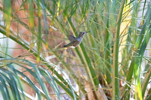 Anna's hummingbird (Calypte anna) young leaving the nest, Southern California, USA  -  Doc White