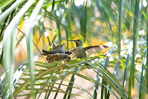 Anna's hummingbird (Calypte anna) with young at nest, Southern California, USA  -  Doc White