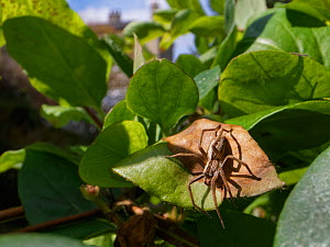Nursery web spider (Pisaura mirabilis) hunting on a Honeysuckle leaf in a garden, with buildings in the background, Wiltshire, UK, April.  -  Nick Upton