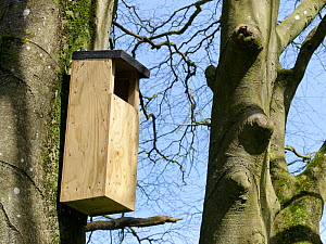 Nest box for Tawny owls (Strix aluco) hanging on a Beech tree trunk in a garden, Wiltshire, UK, April.  -  Nick Upton