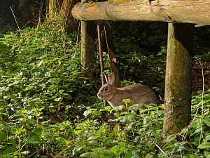 European rabbit (Oryctolagus cuniculus) using a trail under a fence separating a garden from surrounding woodland and meadows at night, Wiltshire, UK, April.  -  Nick Upton