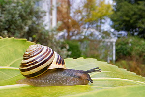 White-lipped snail (Cepaea hortensis) crawling over a leaf in a garden with buildings and a greenhouse in the background, Wiltshire, UK, April.  -  Nick Upton