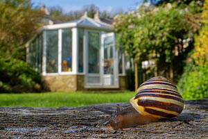 White-lipped snail (Cepaea hortensis) crawling over an oak sleeper retaining a garden lawn with buildings and a greenhouse in the background, Wiltshire, UK, April.  -  Nick Upton