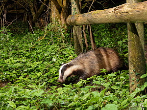 European badger (Meles meles) using a trail under a fence separating a garden from surrounding woodland and meadows at night, Wiltshire, UK, April.  -  Nick Upton