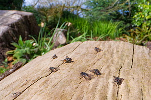 Group of male Face flies / Autumn house flies (Musca autumnalis), a pest of livestock, basking on a log and waiting for females to fly past Wiltshire garden, UK, April.  -  Nick Upton
