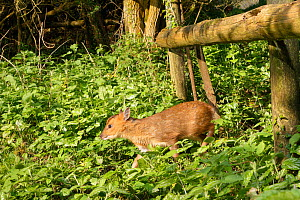 Reeve's muntjac deer / Barking deer (Muntiacus reevesi) fawn using a trail under a fence separating a garden from surrounding woodland at dawn, Wiltshire, UK, April.  -  Nick Upton