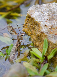 Cranefly (Tipula lateralis) female, of a distinctively patterned early spring semi-aquatic species, laying eggs in a garden pond, Wiltshire, UK, April.  -  Nick Upton