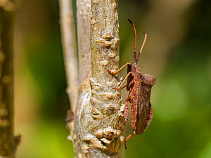 Dock bug (Coreus marginatus) on a Forsythia stem in a garden hedge, Wiltshire, UK, April.  -  Nick Upton
