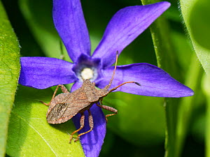 Dock bug (Coreus marginatus) standing on Greater perwikinkle flower (Vinca major) in a garden border, Wiltshire, UK, April.  -  Nick Upton