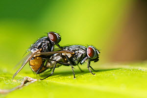 Face flies / Autumn house flies (Musca autumnalis) mating on a leaf in a garden, Wiltshire, UK, April.  -  Nick Upton
