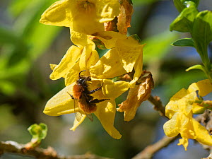 Tawny mining bee (Andrena fulva) nectaring on Forsythia flowers in a garden, Wiltshire, UK, April.  -  Nick Upton