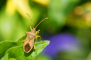 Box bug (Gonocerus acuteangulatus) on a Greater Periwinkle (Vinca major) leaf in a garden, Wiltshire, UK, April. This nationally endangered bug is spreading northwest from its former toehold in southe...  -  Nick Upton