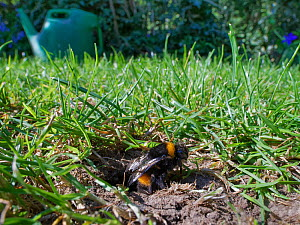 Buff-tailed bumblebee (Bombus terrestris) queen emerging from her nest burrow in a garden lawn, Wiltshire, UK, April.  -  Nick Upton