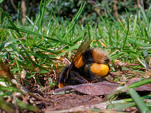Buff-tailed bumblebee (Bombus terrestris) queen returning to her nest burrow in a garden lawn with full pollen sacs to provision grubs that will become future workers for her colony, Wiltshire, UK, Ap...  -  Nick Upton