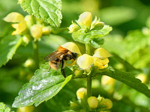 Common carder bumblebee (Bombus pascuorum) nectaring on a Yellow archangel (Lamiastrum galeobdolon) flower in a garden, Wiltshire, UK, April  -  Nick Upton