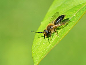 Chocolate / Hawthorn mining bee (Andrena scotica) sunning on a leaf, Wiltshire garden, UK, April.  -  Nick Upton