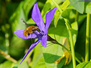 Common bee fly (Bombylius major) nectaring on a Greater periwinkle flower (Vinca major), Wiltshire garden, UK, April.  -  Nick Upton