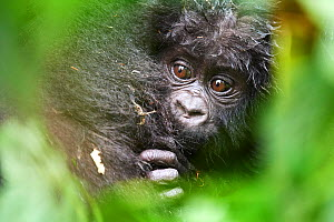 Mountain gorilla baby (Gorilla beringei) with mother. Bwindi Impenetrable Forest National Park, Uganda, Africa  -  Eric Baccega