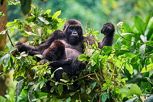 Mountain gorilla (Gorilla beringei) mother with one month baby feeding in tree. Member of Katwe group. Bwindi Impenetrable Forest National Park, Uganda, Africa  -  Eric Baccega