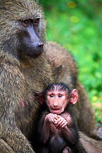 Olive baboon (Papio hamadryas anubis) baby with its mother, Kibale National Park, Uganda, Africa  -  Eric Baccega