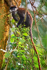 Red tailed monkey (Cercopithecus ascanius) in a tree. Kibale National Park, Uganda, Africa  -  Eric Baccega