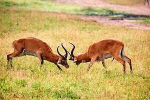 Uganda Kob (Kobus kob thomasi), males fighting. Queen Elizabeth National Park, Uganda.  -  Eric Baccega