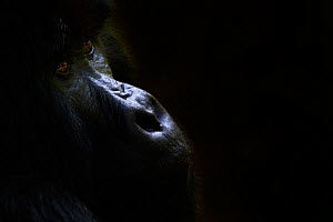 Mountain gorilla (Gorilla beringei beringei) silverback male, portrait, member of the Nyakagezi group, Mgahinga National Park, Uganda.  -  Eric Baccega