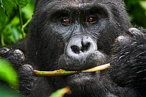 Portrait of male silverback Mountain gorilla (Gorilla beringei beringei) feeding. Bwindi Impenetrable Forest National Park, Uganda, Africa  -  Eric Baccega