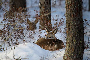 Roe deer (Capreolus capreolus) two sleeping in snow in a pine forest in Alam-Pedja Nature Reserve, Tartumaa county, Southern Estonia. January.  -  Sven Zacek
