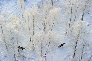 Aerial view of two moose (Alces alces) walking in a snowy forest in Alam-Pedja Nature Reserve, Tartumaa county, Southern Estonia.  -  Sven Zacek