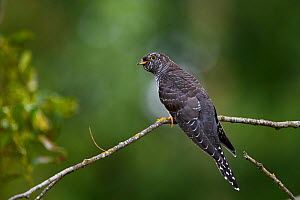 Common cuckoo (Cuculus canorus) perched Tartumaa county, Southern Estonia.  -  Sven Zacek