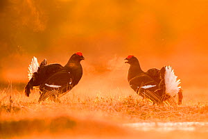 Black Grouse (Tetrao tetrix) two males facing off on a lekking site, Varumaa county, Southern Estonia. April.  -  Sven Zacek
