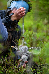 Ornithologist weighing a Ural owl chick (Strix uralensis) during a ringing expedition, Tartumaa county, Southern Estonia. May 2019.  -  Sven Zacek