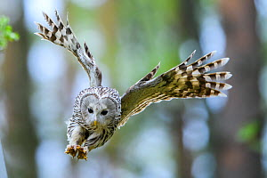 Ural Owl (strix uralensis) female with talons ready to attack a ringing ornithologist, Tartumaa county, Southern Estonia. May.  -  Sven Zacek