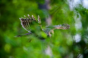 Ural owl (strix uralensis) female flying through spring foliage with a vole to feed to chick, Tartumaa county, Southern Estonia. May.  -  Sven Zacek