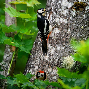 Great-spotted woodpecker (dendrocopos major) at nest with a grown chick looking out of hole in tree, Tartumaa county, Southern Estonia. June 2019.  -  Sven Zacek