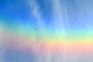 Common swift (Apus apus) flying over a rainbow, Tartumaa county, Southern Estonia. June.  -  Sven Zacek