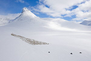 Reindeer herders moving a large herd of semi-domesticated Reindeer (Rangifer tarandus) with the help of snowmobiles, to the reindeer calving areas in the Jotunheimen National Park, Norway. April.  -  Orsolya Haarberg