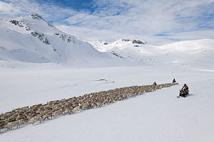 Reindeer herders on snowmobiles, moving a large flock of semi-domesticated Reindeer (Rangifer tarandus), to the reindeer calving areas in the Jotunheimen National Park, Norway. April.  -  Erlend Haarberg