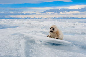 Baikal seal (Pusa sibirica) pup on ice, endemic species. Lake Baikal, Russia, April.  -  Olga Kamenskaya