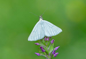 Black-veined moth (Siona lineata) resting on flowers, Pyrenees National Park, France, June 2019.  -  Robert  Thompson