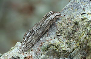 Canadian sphinx (Sphinx canadensis) camouflaged on tree bark, Lac-Drolet Province, Quebec, Canada, April.  -  Robert  Thompson