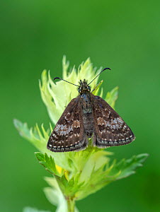 Dingy skipper moth (Erynnis tages) Pyrenees National Park, France, June.  -  Robert  Thompson