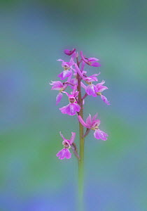 Early purple orchid (Orchis mascula) flower, Clare Glen, County Armagh, Ireland. April.  -  Robert  Thompson