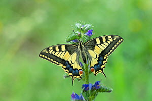 European swallowtail butterfly (Papilio machaon gorganus) Pyrenees National Park, France, June.  -  Robert  Thompson