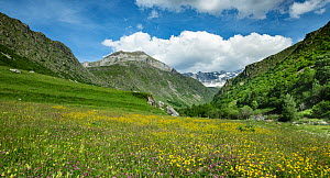 Alpine meadow with buttercups(Ranunculus) and Red clover (Trifolium pratense) off Cirque de Troumouse road. Pyrenees National Park, France, June  -  Robert  Thompson