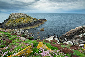 Coastal landscape at Great Saltee Island, County Wexford, Ireland, June.  -  Robert  Thompson